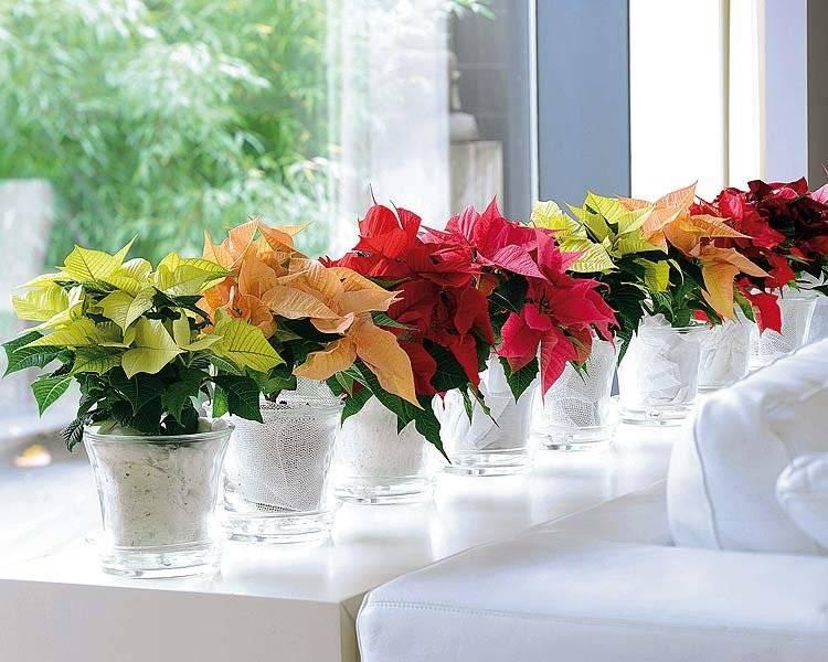Великолепная пуансеттия — особенности ухода и разведения. стоит ли заниматься размножением цветка после покупки?