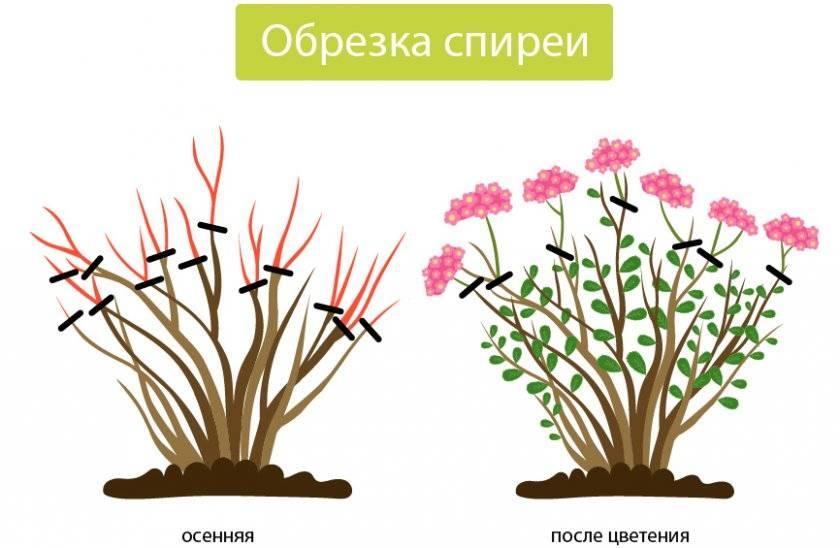 Спирея на домашнем участке: особенности размножения декоративного кустарника