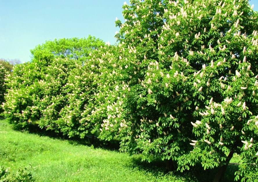 Как вырастить каштан на даче: посадка и уход за деревом