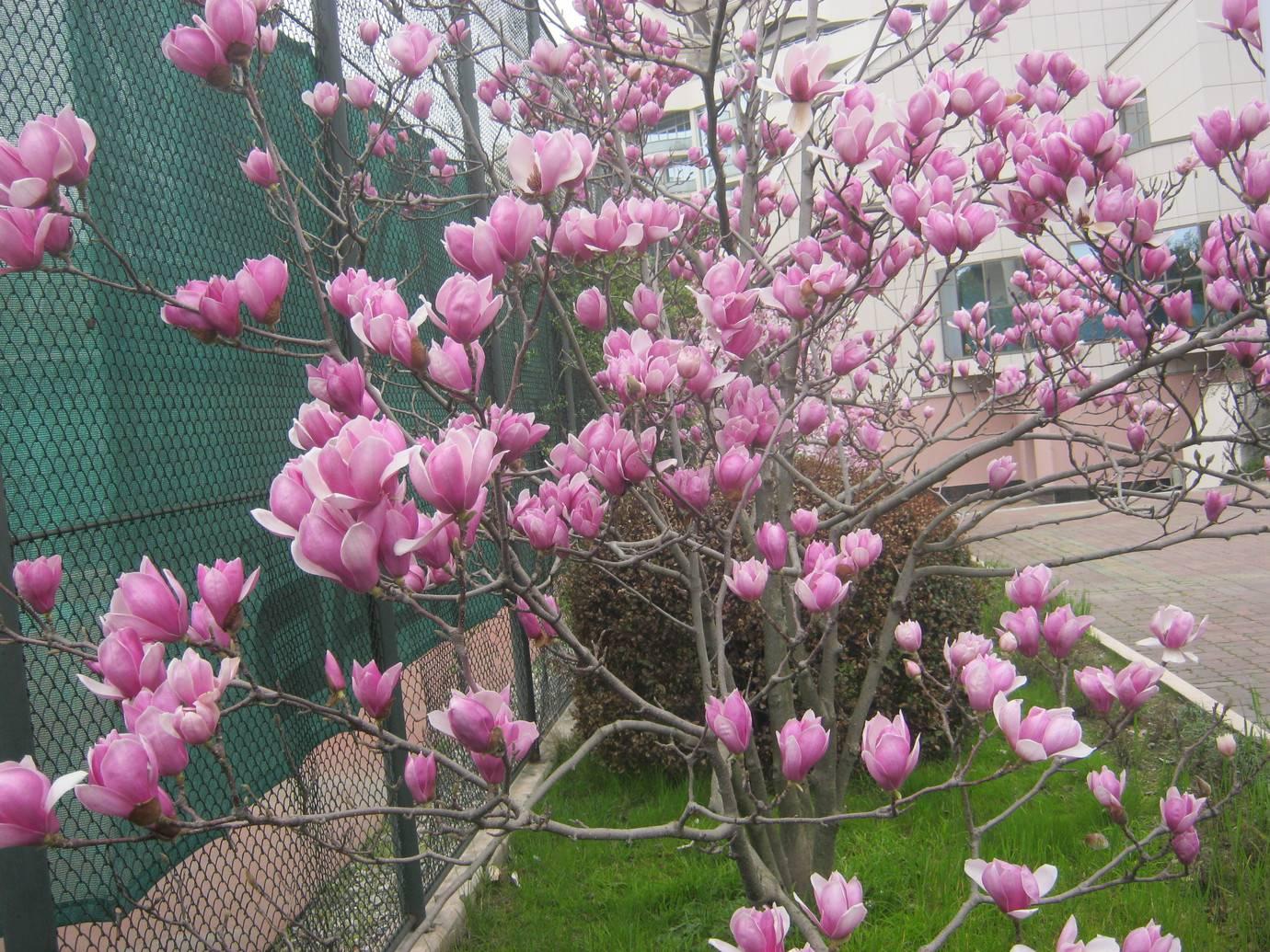 Тюльпановое дерево — посадка и уход за лириодендроном