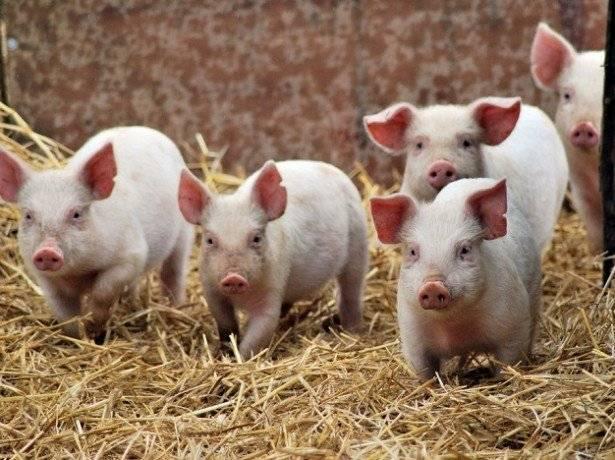 Бизнес-план по разведению свиней: рентабельность предприятия
