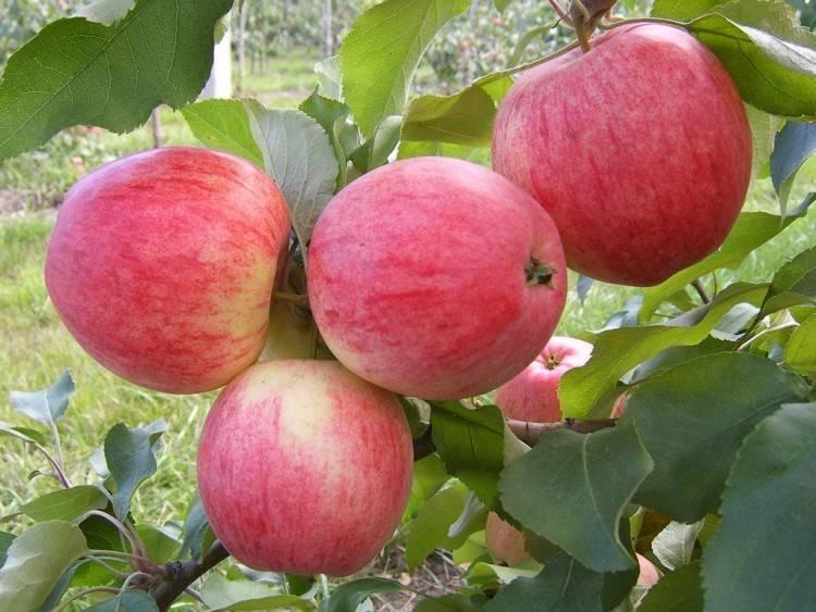 сорт яблони ломоносовское фото и описание сорта этой