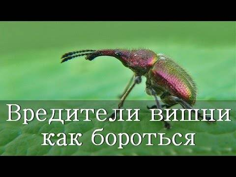 Вишня: болезни и вредители и борьба с ними, фото, почему сохнет, опадает, тля и черви