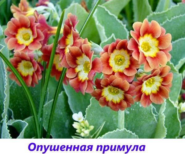 Как выращивать примулу садовую. примула многолетняя: сочетание с другими растениями. выращивание примулы из семян