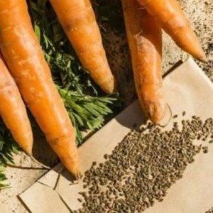 Когда и как надо сажать морковь на семена?