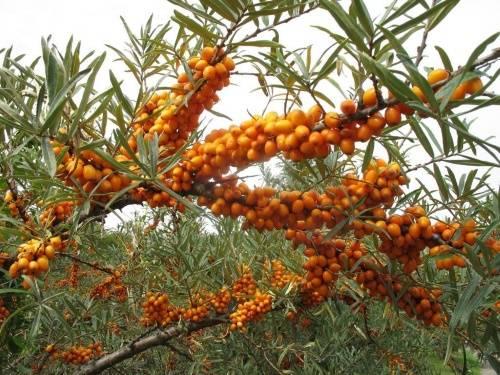 Облепиха: посадка и уход в открытом грунте. лучшие сорта для выращивания в сибири, подмосковье, средней полосе россии