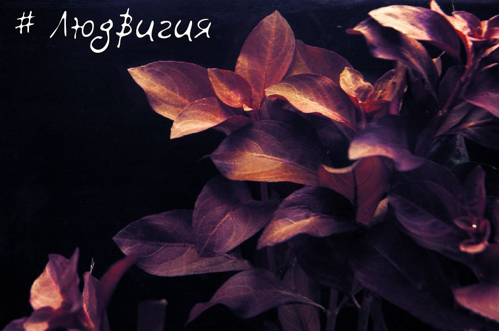 Цветок аллиум посадка и уход в открытом грунте