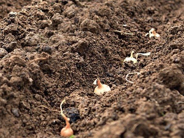 Посадка лука-севка осенью под зиму: сроки и правила