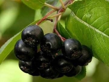 Черноплодная рябина (арония): описание, уход и выращивание