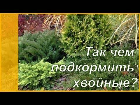 Особенности подкормки для хвойных растений: чем и как удобрять