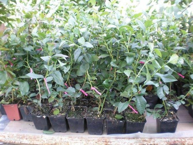 Голубика садовая: посадка и уход, обрезка и размножение, удобрение и лучшие сорта