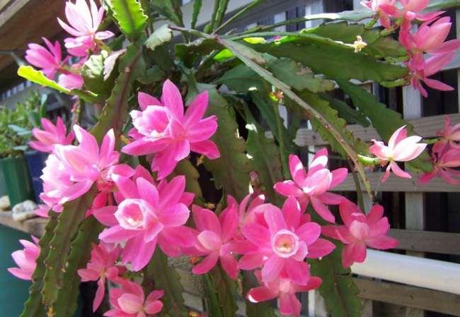 Эпифиллум: описание, выращивание и уход