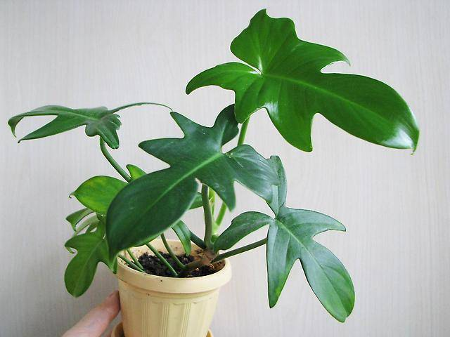 Филодендрон — зелёный фаворит в вашем доме