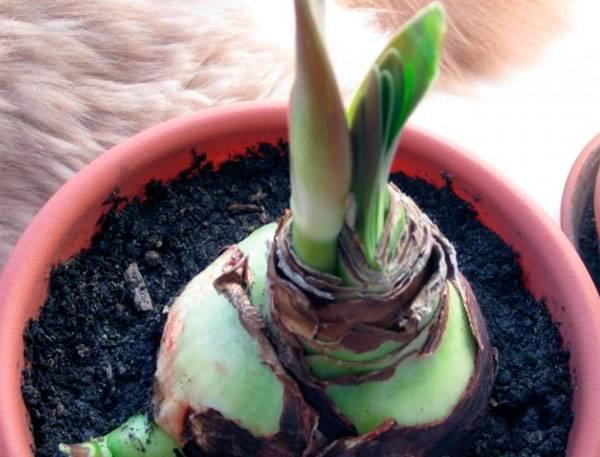 Амариллис: как вырастить дома и в саду
