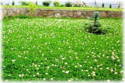 Как правильно сажать белый клевер. подскажите, как сажать белый клевер для газона?