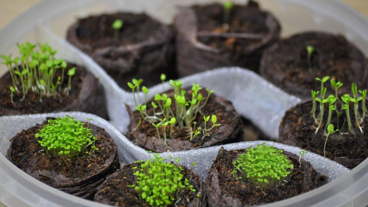 Выращивание тимьяна в открытом грунте