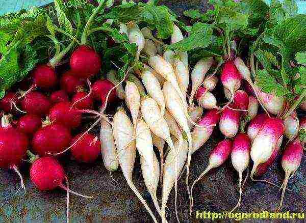 Сорта редиса – какие выбрать для выращивания на огороде?