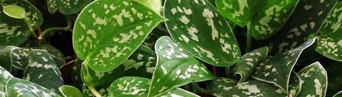 Сциндапсус: виды и сорта лианы, особенности разведения