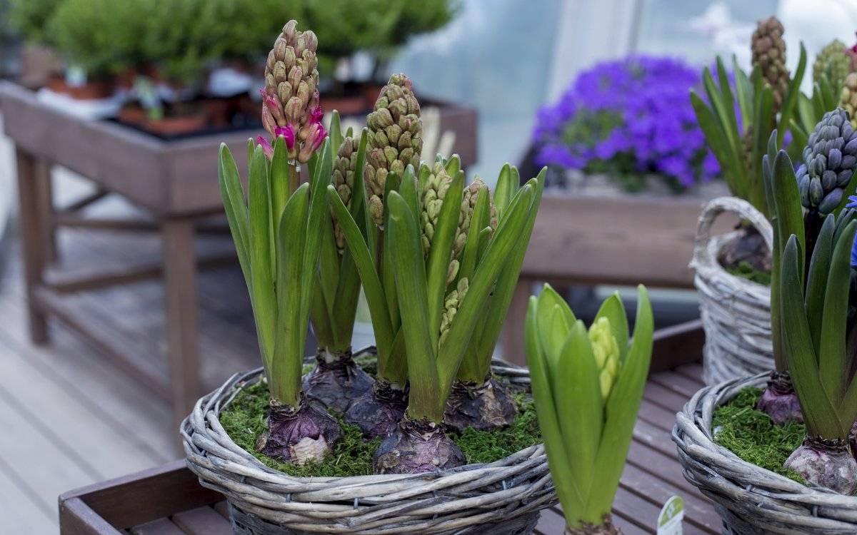 7 секретов удачной выгонки луковичных цветов
