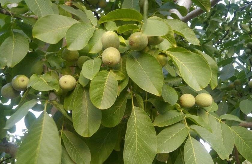 Топ-15 сортов грецкого ореха для выращивания на дачном участке
