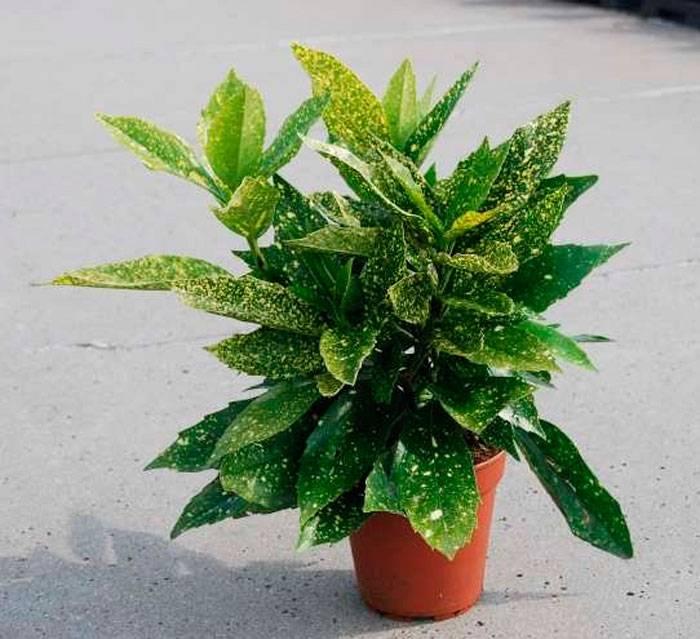 Аукуба японская — колбасное дерево