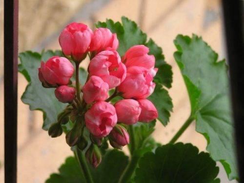 Лучшие сорта и особенности выращивания тюльпановидной герани