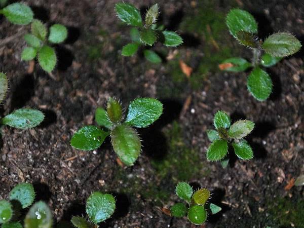 Размножение рододендрона черенками, семенами, отводками, видео