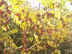 Выращивание зизифуса в своем саду: посадка, уход, размножение