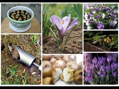 Осенние крокусы и особенности их выращивания