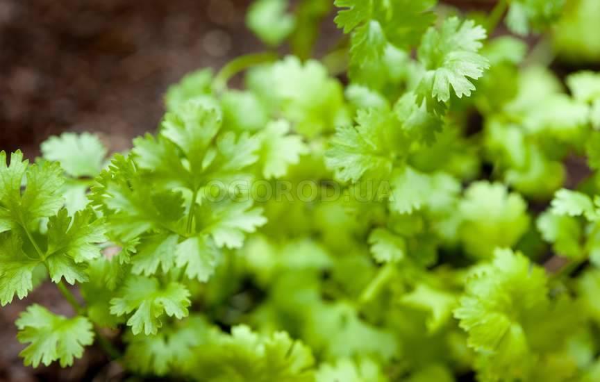 Как вырастить кинзу в квартире из семян