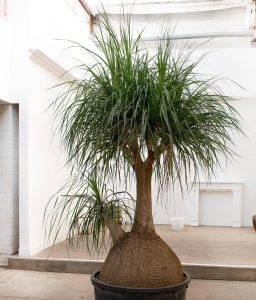 Тропическое растение у вас дома – бутылочное дерево (нолина)