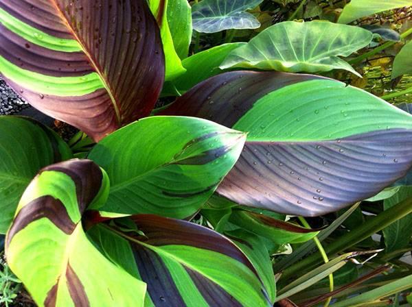 У адениума желтеют и сохнут кончики листьев, причины болезней пустынной розы и лечение