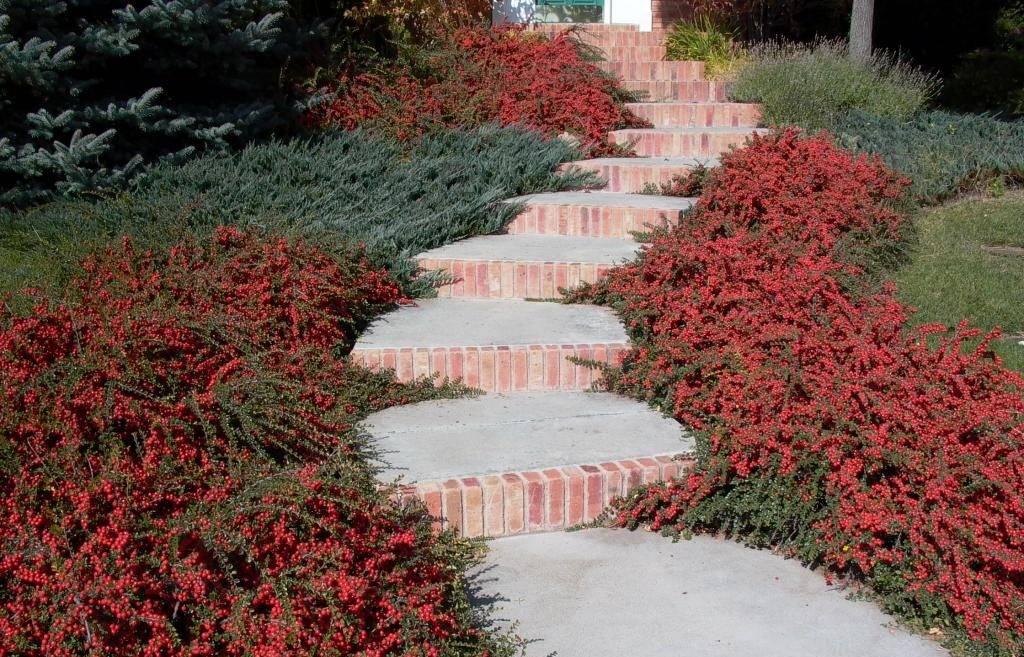 Кизильник блестящий — кустарник для создания живой изгороди. посадка, уход, размножение и применение в ландшафтном дизайне.