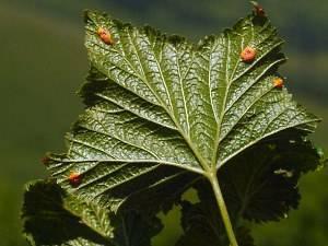 Ржавчина смородины — виды, симптомы и лечение