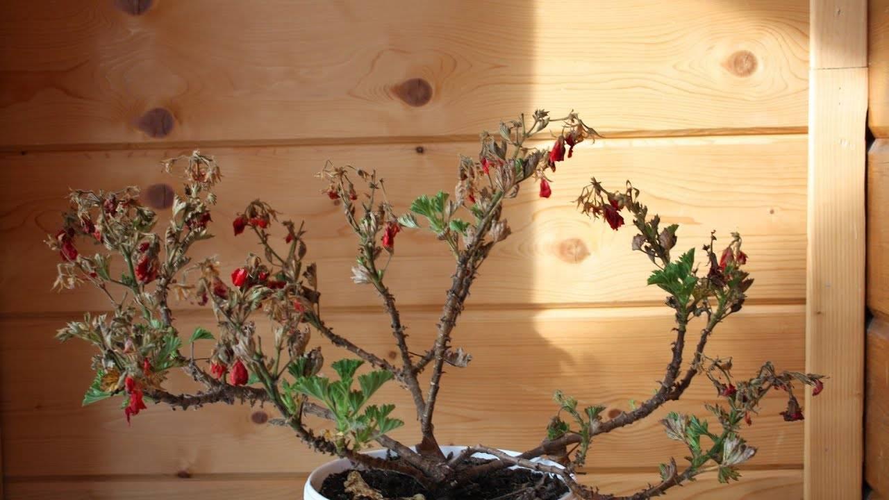 Желтеют листья герани, начиная с краев, и увядают бутоны: почему сохнет цветок и что делать?