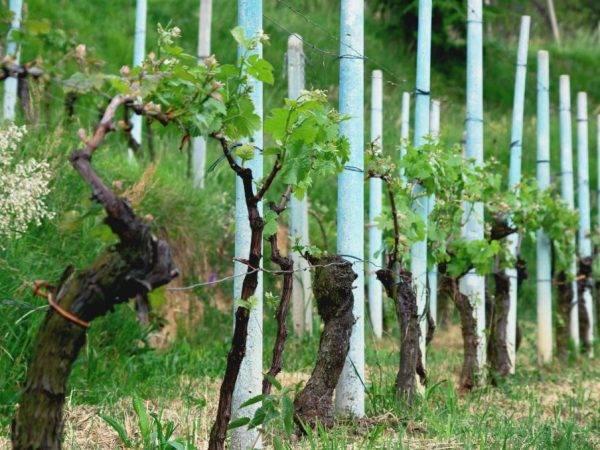 Как сделать шпалеру для винограда своими руками