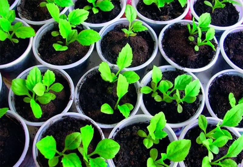 Выращивание астры с учетом всех особенностей для получения прекрасных здоровых цветов