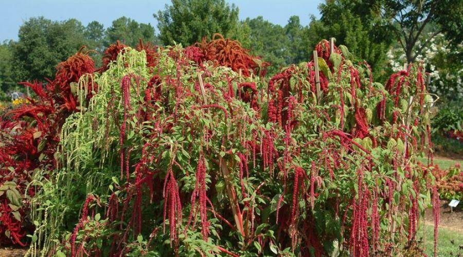 Как вырастить амарант на даче. амарант: посадка и уход, выращивание из семян