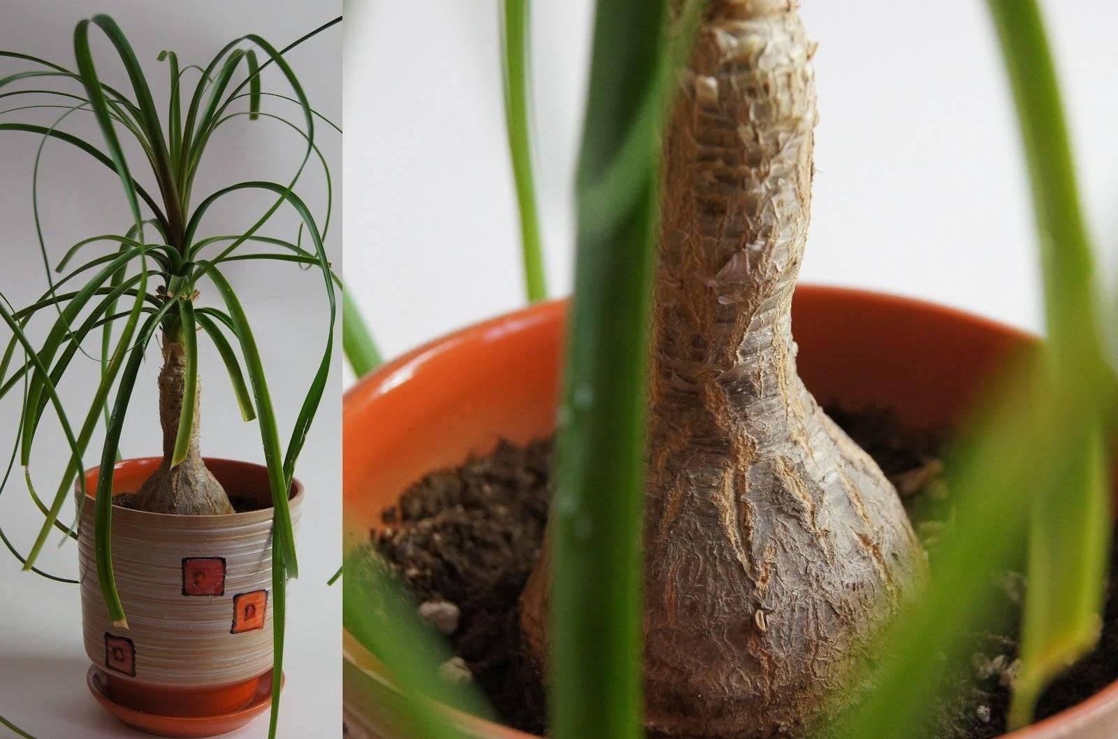 Нолина (бокарнея) — посадка и уход в домашних условиях за бутылочным деревом