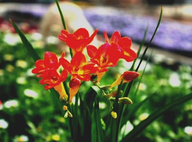 Выгонка фрезии к 8 марта. выгонка фрезии в комнатных условиях. фрезия выращивание и уход в домашних условиях
