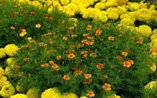 Все секреты о выращивании бархатцев из семян: когда и как сажать, правила ухода