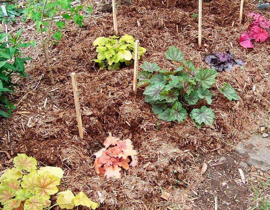 Гейхера: выращивание из семян, посадка и уход за гейхерой в саду