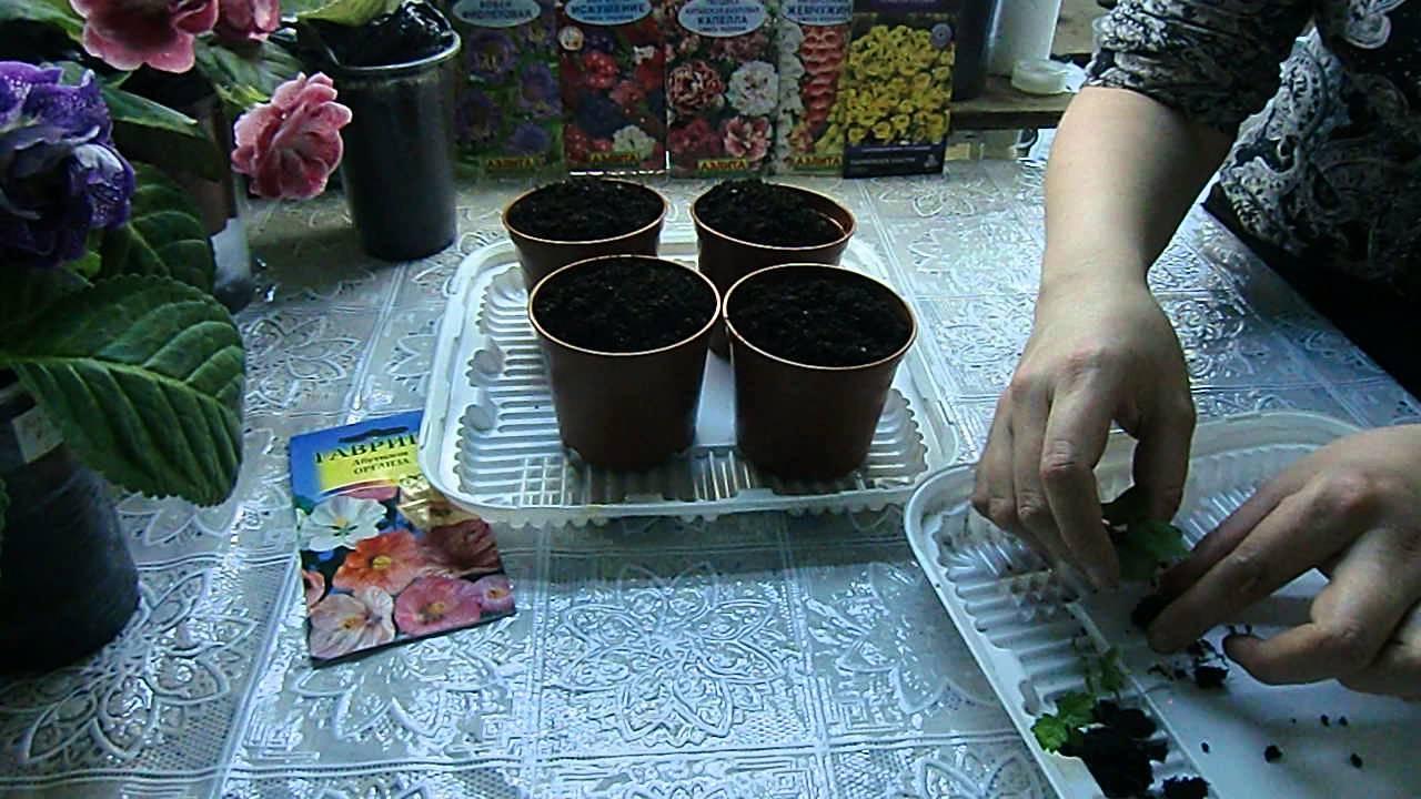 Выращиваем абутилон из семян – тонкости посева. как выращивать абутилон из семян дома