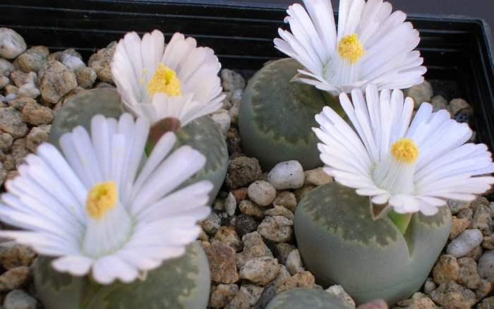 Живые камни или литопсы: уход и правила полива. знакомимся с удивительным растением литопс