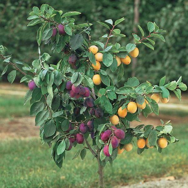 Прививка абрикоса летом