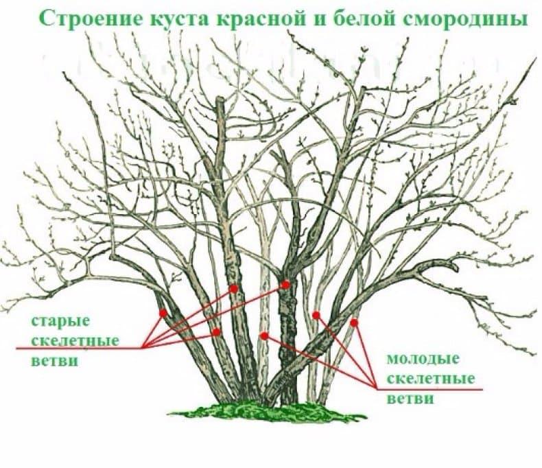Уход за смородиной после сбора урожая: 6 советов от бывалого садовода.