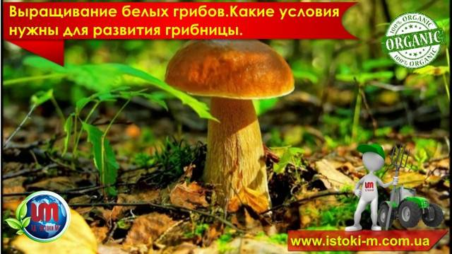 Семена белых грибов, присланные из Китая
