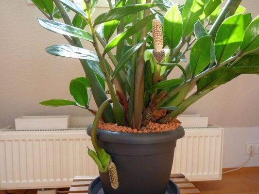 Замиокулькас из стебля или листика: как правильно укоренить домашний суккулент?