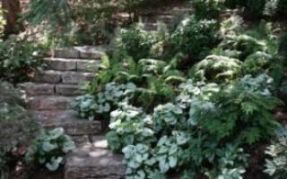 Багряник церцис канадский и европейский посадка и уход как вырастить церцис из семян фото видов