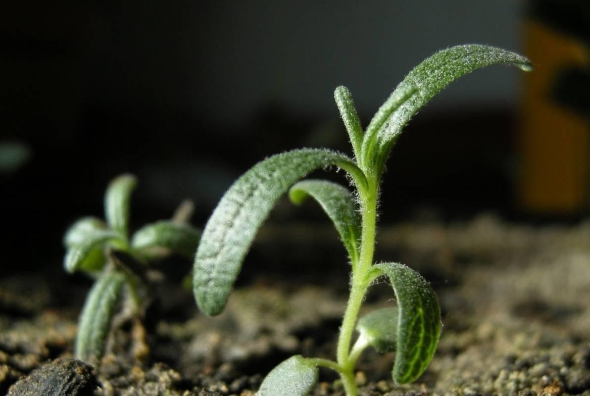 Мелисса выращивание из семян